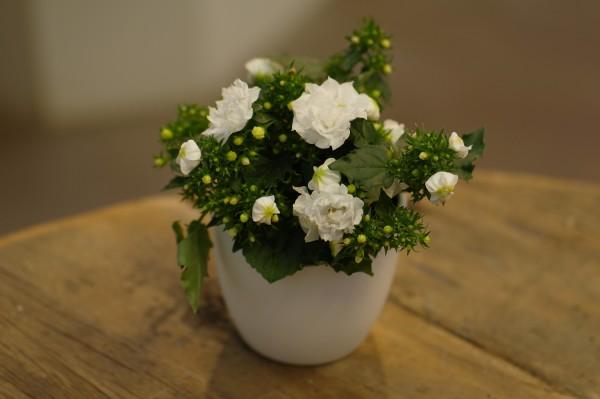 Polster-Glockenblume 'Like MEE'® weiß - Campanula portenschl. (Minipflanze)