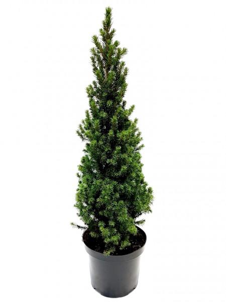 Zuckerhut-Fichte 'Conica' topfgedrückt - Picea glauca (C4, 50-60cm)