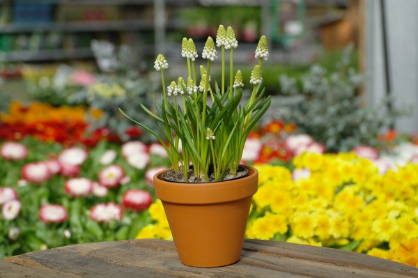 Trauben-Hyazinthe weiß - Muscari armeniacum (9cm Topf, 20-30cm)