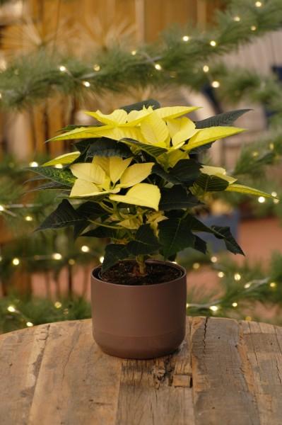 Weihnachtsstern 'Golden Glo' - Euphorbia pulch. (10cm Topf, 20-30cm)