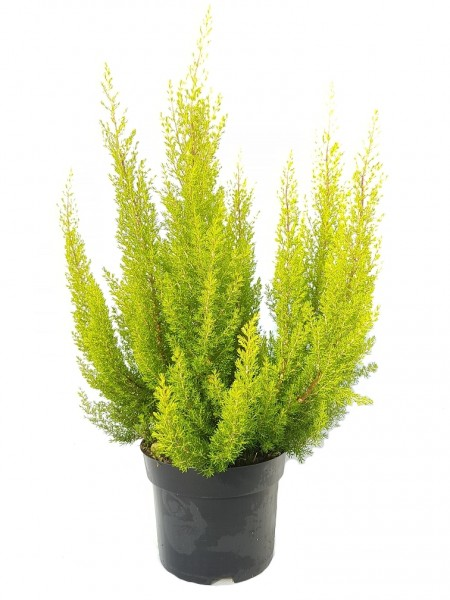 Baumheide hellgrün - Erica arborea (12cm Topf, 25-40cm Höhe inkl. Kulturtopf)