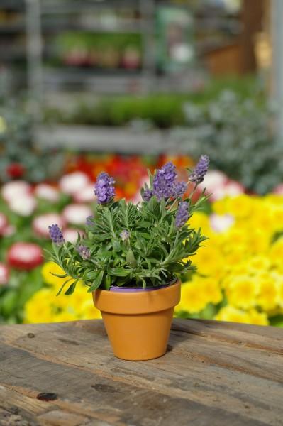 Lavendel - Lavandula (Minipflanze, 6cm Topf)