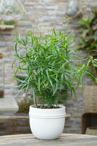 Zierspargel - Asparagus falcatus (12cm Topf, 30-50cm)