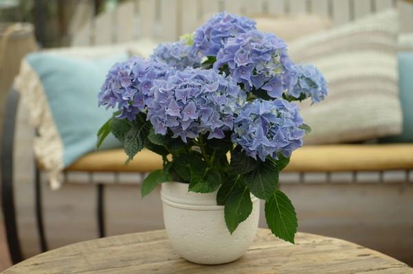 Tisch-Hortensie blau - Hydrangea macr. (10cm Topf, 25-35cm)