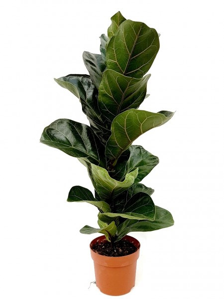 Geigenfeige - Ficus lyrata (12cm Topf, 50-70cm)