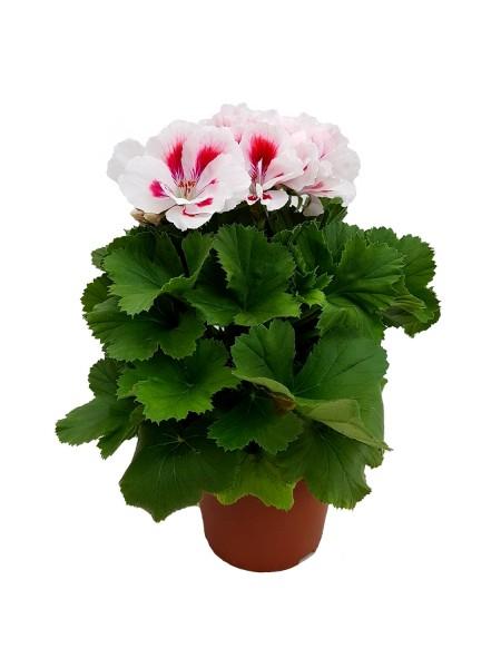 Edelpelargonie weiß-pink - Pelargonium grand. (13cm Topf, 25-35cm Höhe inkl. Kulturtopf)