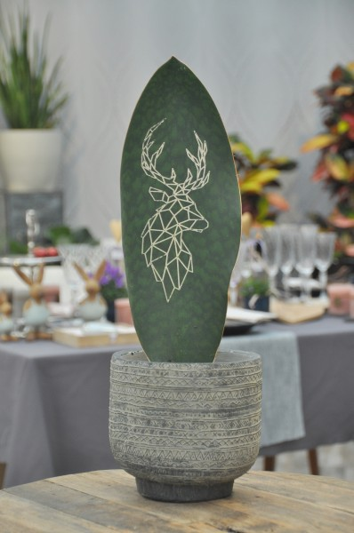 Bogenhanf 'Green Brandingz' Hirsch - Sansevieria (14cm Topf, 35-55cm)