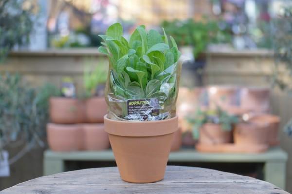LA'BIO! Borretsch - Borago officinalis (13cm Topf)