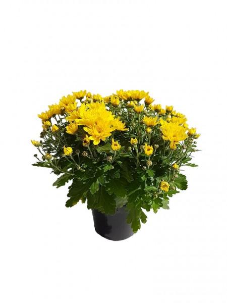 Chrysantheme 'Garden Mums' gelb - Chrysanthemum indicum (12cm Topf)