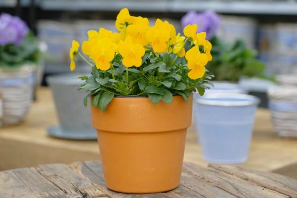 Hornveilchen gelb - Viola cornuta (12cm Topf)