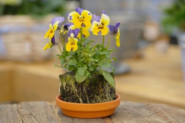 Hornveilchen blau-gelb - Viola cornuta (Erdpresstopf)