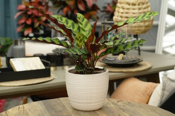 Korbmarante 'Insigne' - Calathea lancifolia (12cm Topf, 20-40cm)
