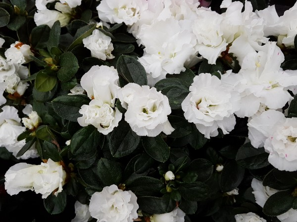 Zimmer-Azalee weiß - Rhododendron simsii (12cm Topf, 20-30cm)
