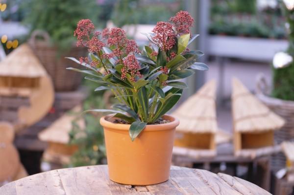 Japanische Blütenskimmie rot - Skimmia japonica (13cm Topf, 30-45cm)