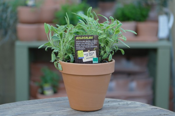 LA'BIO! Goldsalbei - Salvia officinalis 'aurea' (13cm Topf)