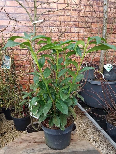 Kirschlorbeer 'Genolia'® - Prunus laurocerasus (C3, 40-60cm Höhe inkl. Kulturtopf)