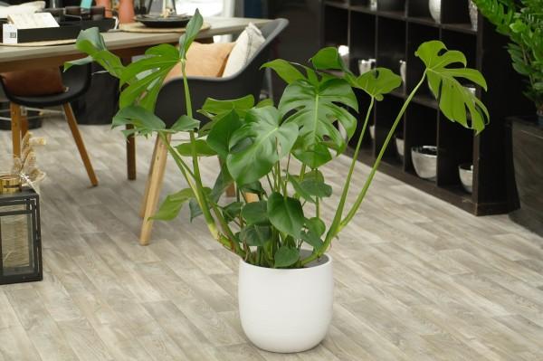 Fensterblatt - Monstera deliciosa (21cm Topf, 70-90cm)