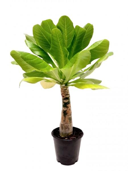 Hawaii-Palme - Brighamia insignis (12cm Topf, 40-50cm)