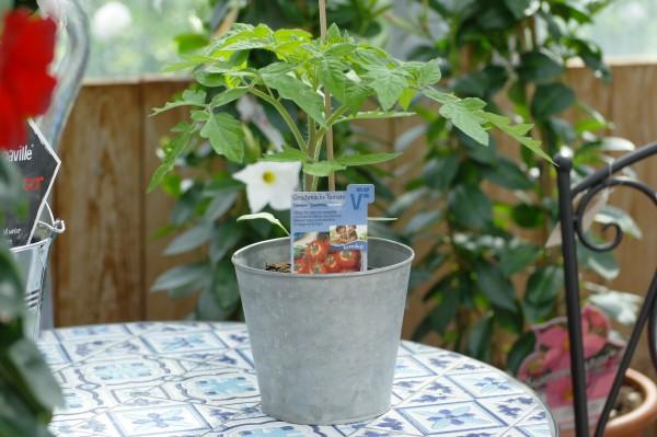 Geschmacks-Tomate 'Campos'® - Lycopersicon esculentum (12cm Topf)