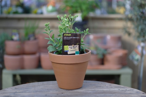 LA'BIO! Stevia - Stevia rebaudiana (13cm Topf)