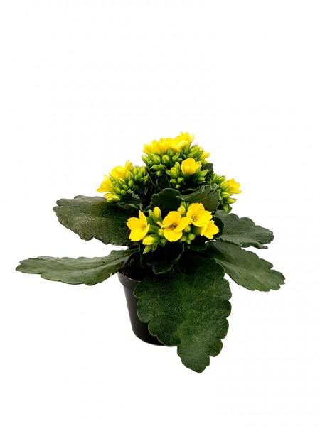 Flammendes Käthchen gelb - Kalanchoe bloss. (Minipflanze, 6cm Topf)
