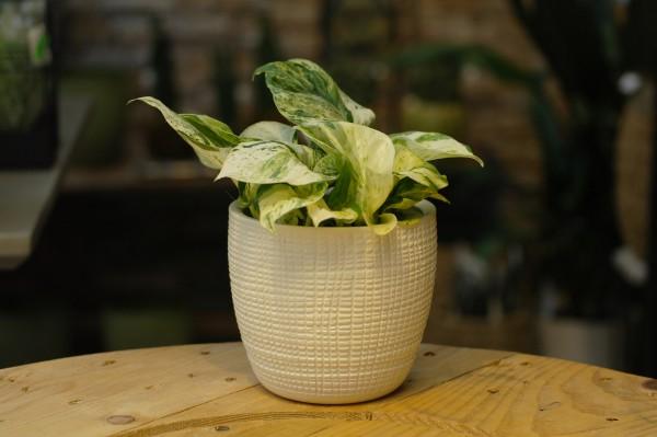 Efeutute 'Happy Leaf' - Epipremnum pinnatum (12cm Topf, 15-25cm Höhe inkl. Kulturtopf)