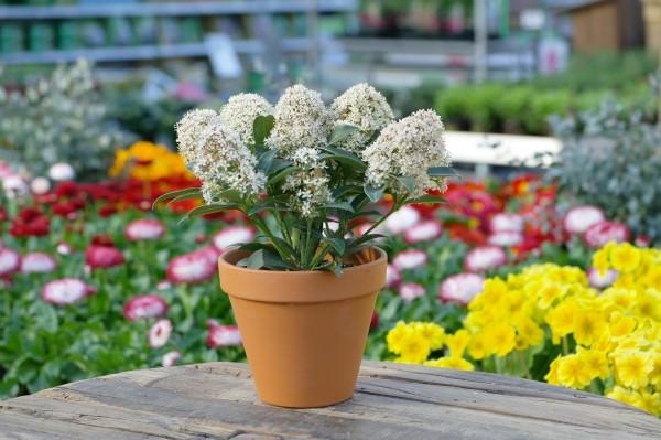 Japanische Blütenskimmie weiß - Skimmia japonica (13cm Topf, 25-35cm Höhe inkl. Kulturtopf)