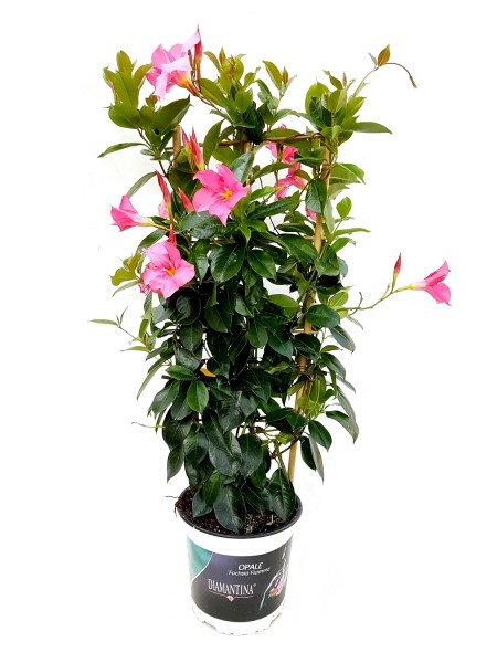Sundaville 'Fuchsia Flammé' Spalier - Mandevilla x Dipladenia (17cm Topf)