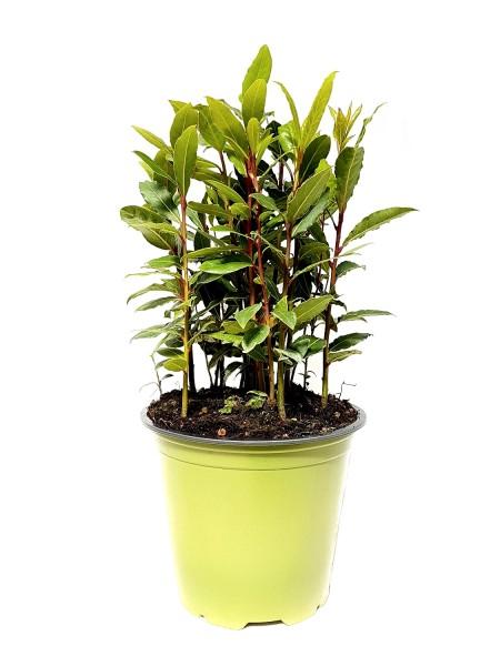 SUNNY HERBS Lorbeer - Laurus nobilis (14cm Topf)