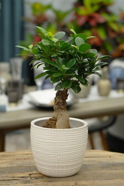 Chinesische Feige (Bonsai) - Ficus mi. 'Ginseng' (12cm Topf, 20-40cm Höhe inkl. Kulturtopf)