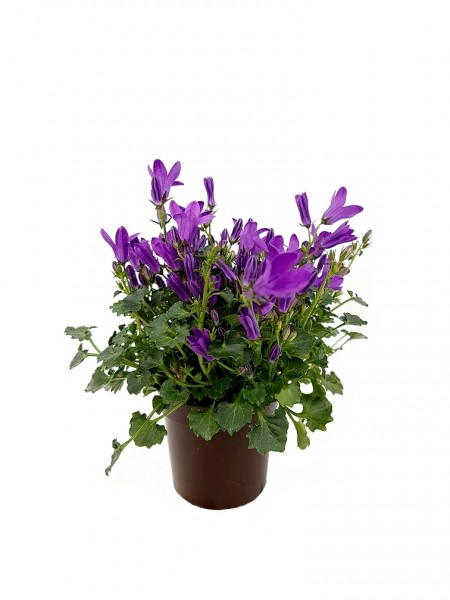 Polster-Glockenblume 'Get Mee'® violett - Campanula portenschl. (Minipflanze)