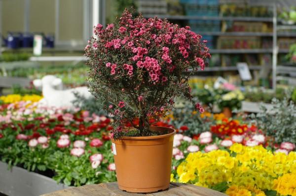 Südseemyrte rosa - Leptospermum (19cm Topf, 50-70cm)