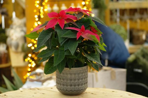 Herbststern 'Princettia® Dark Pink' Weihnachtsstern - Euphorbia pulch. (10cm Topf, 15-25cm)