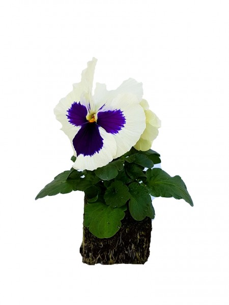 Stiefmütterchen weiß mit violettem Auge - Viola F1 wittrockiana (Erdpresstopf)