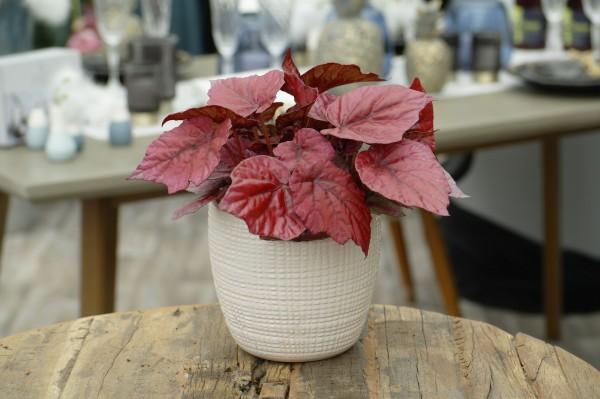 Blattbegonie 'Beleaf® Inca Flame' - Begonia rex (12cm Topf, 20-30cm)