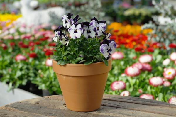 Hornveilchen violett-weiß - Viola cornuta (12cm Topf)