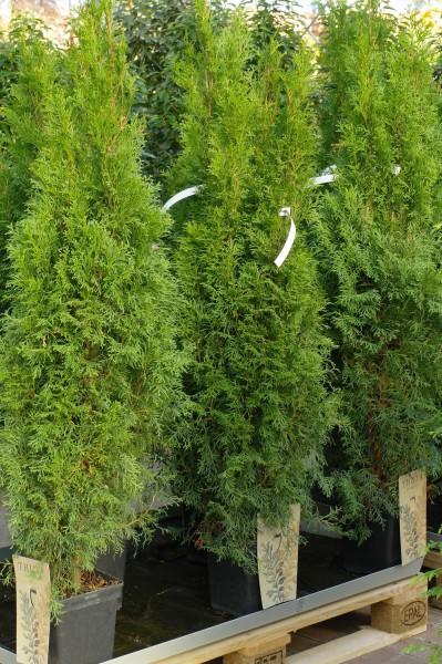 Lebensbaum 'Smaragd' Kegel - Thuja occident. (C7,5, 100-120cm)