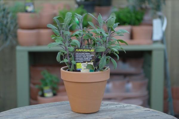 LA'BIO! Purpursalbei - Salvia officin. purpurascens (13cm Topf)