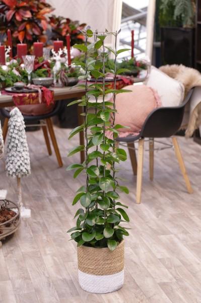 Porzellanblume 'Australis' - Hoya carnosa (21cm T., Säule, 100-120cm)