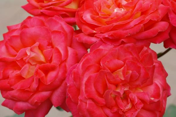 Nostalgie®-Beetrose 'Midsummer'® - Rosa (C4)