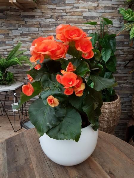 Elatior-Begonie orange - Begonia elatior (13cm Topf, 25-35cm)