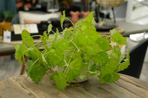 Blattbegonie 'Beleaf® Lima Love' - Begonia rex (12cm Topf, 20-30cm Höhe inkl. Kulturtopf)