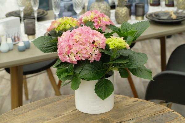 Tisch-Hortensie hellrosa - Hydrangea macr. (10cm Topf, 25-35cm)