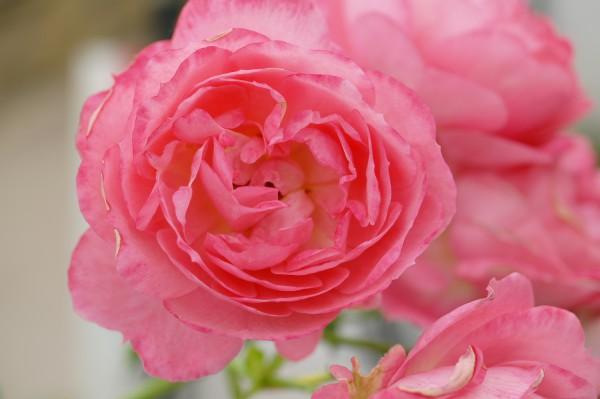 Beetrose 'Moin Moin'® ADR-Rose - Rosa (C5)