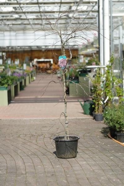 Schlitzahorn 'Garnet' - Acer palmatum (C15, 100-130cm)