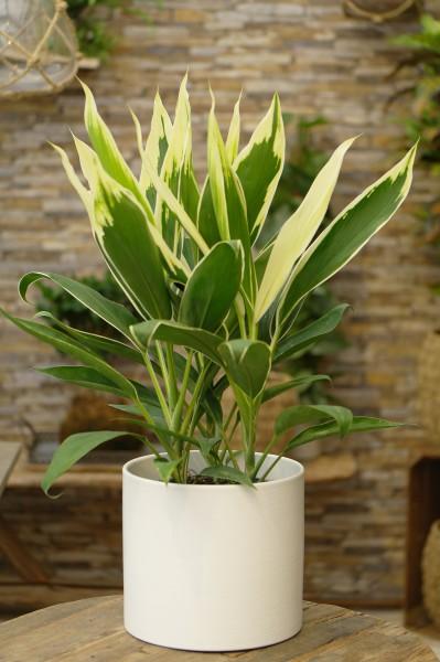 Keulenlilie 'Conga' - Cordyline fruticosa (19cm Topf, 50-70cm)