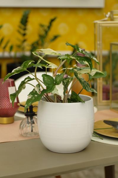 Purpurtute 'Albo' variegata - Syngonium podoph. (15cm Topf, 30-40cm Höhe inkl. Kulturtopf)