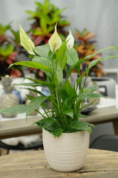 Friedenslilie weiß - Spathiphyllum (13cm Topf, 30-50cm)