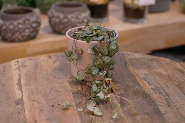 Leuchterblume - Ceropegia woodii (9cm Topf)