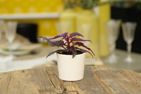 Samtpflanze - Gynura aurantiaca (Minipflanze, 6cm T.)